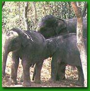 Rogue elephant Shankar kills mahout in Chandaka