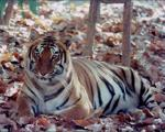 Similipal tiger reserve opened for tourists